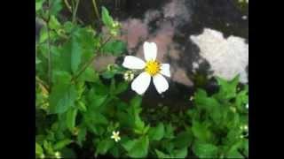 Hoa dại - Mai Khôi