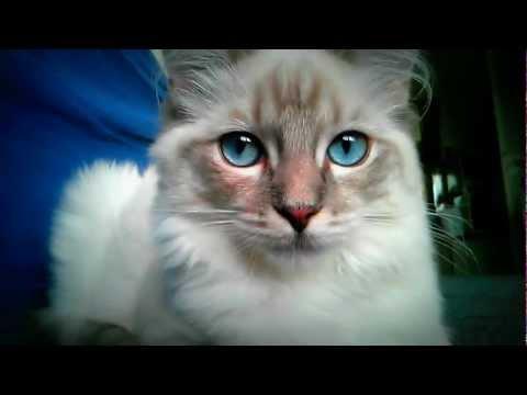 Fluffy Ragdoll Cat beautiful blue eyes wakes up.