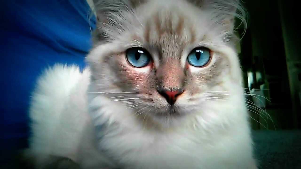 Free Ragdoll Cat