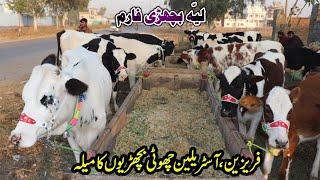 Australian Fresian Bachrian For Sale At Layyah Dairy Farm Pakistan