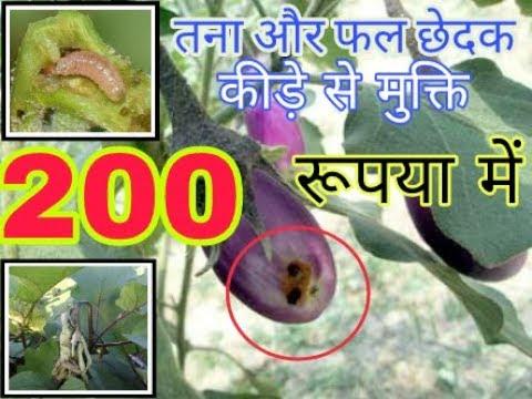 Shoot And Fruit Borer Of Brinjal  Began Ka Tana Or Fal Chedak Kira