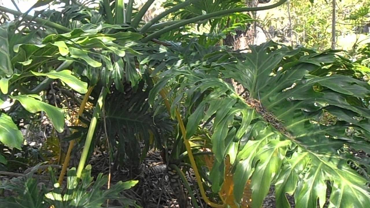 Filodendro de hoja partida philodendron bipinnatifidum for Planta filodendro