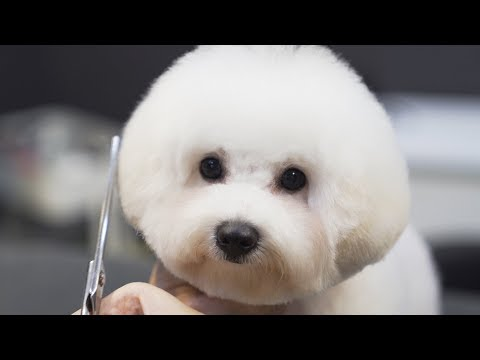 A walking cotton ball.