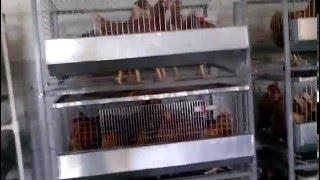 Клетки для содержания кур-несушек