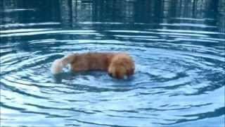 Golden Retriever Blowing Bubble Under The Water, Loves To Swim And Scuba Dive To Gather Rocks