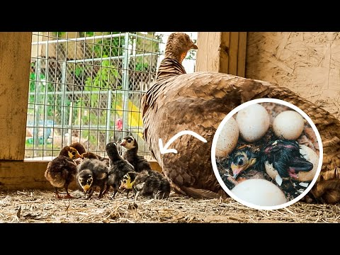 Mama Turkey hatching out a load of Baby Chicks