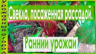 РАННИЙ УРОЖАЙ СВЕКЛЫ!!!