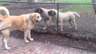 ENGLISH MASTIFFS vs. ALABAI