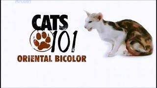 Порода кошек Восточная двухцветная/Ориентальная двухцветная