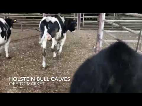 Holstein Bull Calves Sold at Cattle 🐮 Auction (Feeder Sale) BC Canada 🇨🇦