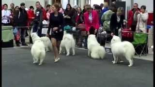 Роскошные собаки самоеды