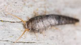 HOW TO GET RID OF A SILVERFISH INFESTATION