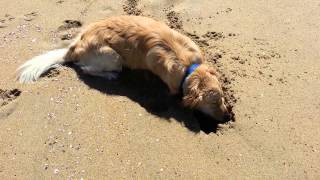Golden Retriever Digging in the Sand @ Huntington Dog Beach, Orange County, CA