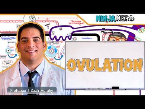 Female Reproductive Cycle | Ovulation
