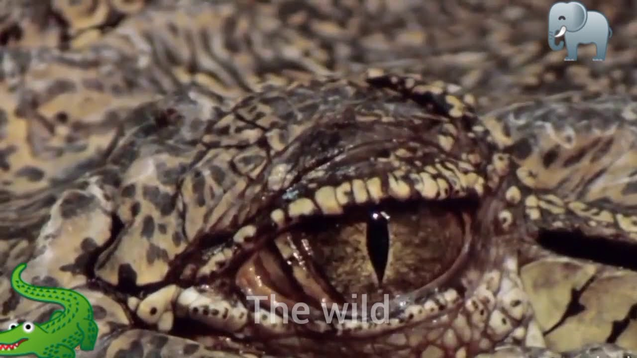 Download CROCODILE VS ELEPHANTS The Most Exciting Moments In Nature