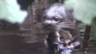 エクアドルNAPOのオオカワウソ② (Giant Otter at NAPO wildlife center)