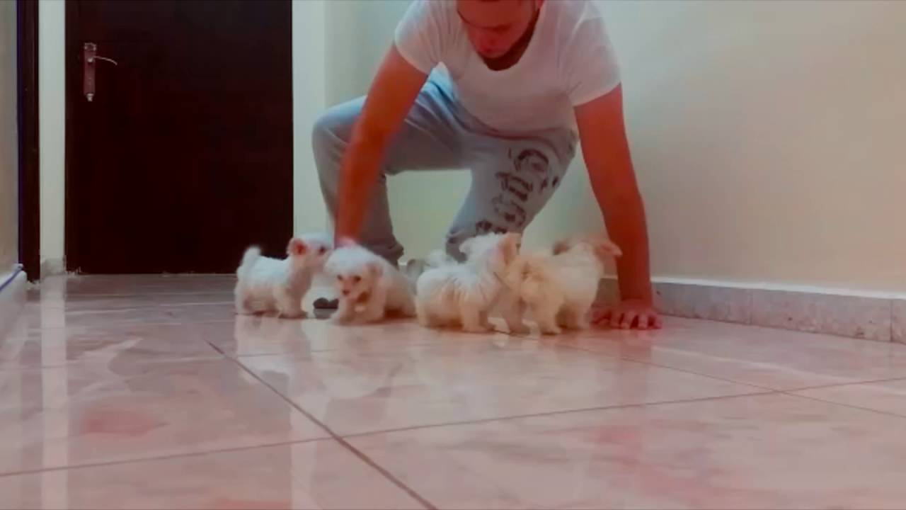 smallest amp cutest maltese puppies ever danieu666 youtube