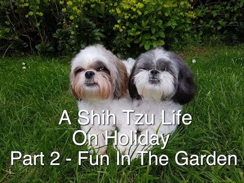A Shih Tzu Life On Holiday Part 2   Fun In The Garden