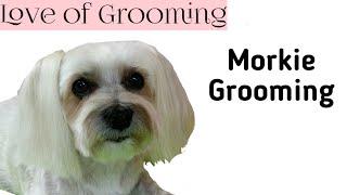 Grooming a Morkie's Head