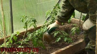 Уход за помидорами после высадки в теплицу + видео Как ухаживать за томатами после высадки