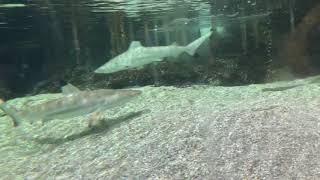 Baby Sharks in Aquarium in Jeddah, Saudi Arabia