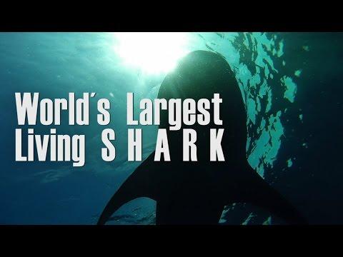 TIBURON MAS GRANDE DEL MUNDO. Largest one. Biggest SHARK.