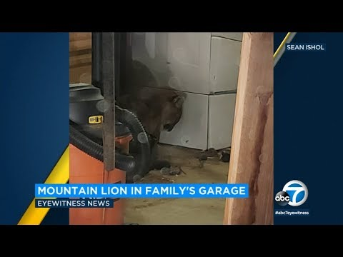 Evelyn Erives - Ekk!! IE Family Finds Mountain Lion In Their Garage While Doing Laundry