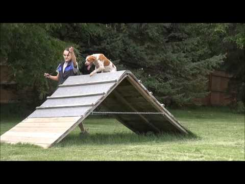 Igor (French Brittany Spaniel) Boot Camp Dog Training Video