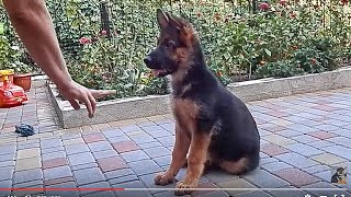 ДРЕССИРОВКА РЭКСА. Щенок немецкой овчарки 3 мес.Training a German Shepherd puppy.Odessa.
