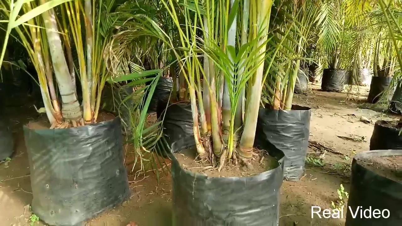Majesty Palm Plant Caree