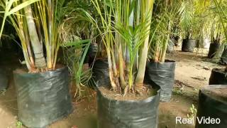 Majesty Palm Plant Caree