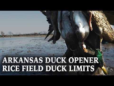 Arkansas Rice Field Ducks | Cabela's Northern Flight