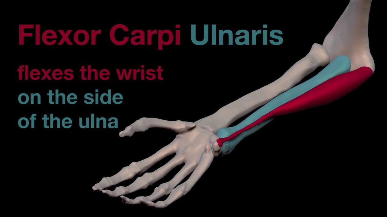 arm muscles 29 flexor carpi ulnaris youtube