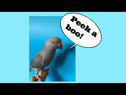 Parrot Plays And Says Peekaboo !