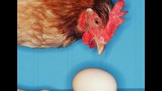 Почему куры едят свои яйца, что делать?
