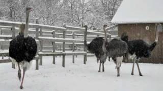 28 декабря 2010 г. Снег на страусиной ферме