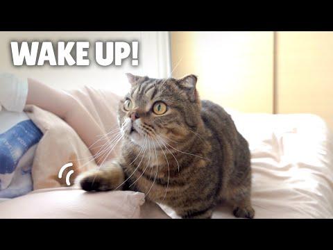 La alarma de gatos para despertar | Kittisaurus