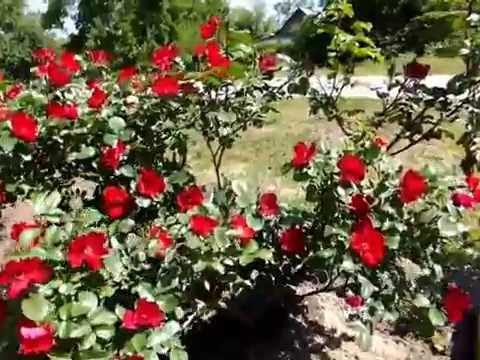 Розы. В нашем питомнике выращиваются сорта роз, наиболее адаптированные к климатическим условиям средней полосы россии. Все саженцы роз,. Роза парковая ритаусма rosa ritausma. Роза парковая ритаусма. 300 р купить. Роза парковая сэр генри rose sir henry. Роза парковая сэр генри.