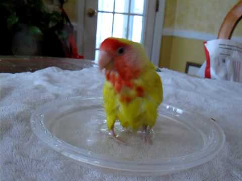 how to give a lovebird a bath