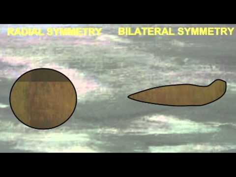 PL1: RADIAL VS. BILATERAL SYMMETRY