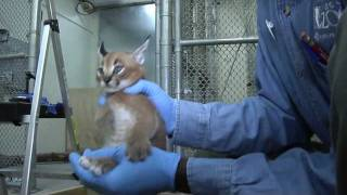 Caracal kittens at five weeks: Growing fast thumbnail