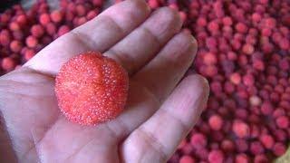 甘酸っぱいヤマモモの収穫始まる 高知県奈半利町