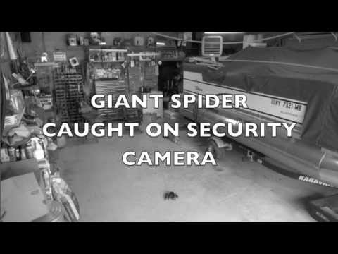 GIANT SPIDER CAUGHT ON SECURITY CAMERA