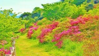 ミヤマキリシマ(雲仙国立公園)
