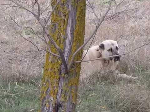 kurtcu kangallar / wolf hunt kangal dog