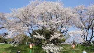 Cherry blossom viewing at Korakuen Okayama 2012