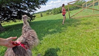 our emus MOVE to the farm
