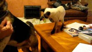 Siamese Kitten Playing With Beagle's Tail