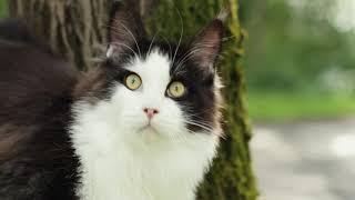 Видео котенка породы мейн кун черный с белым (n09), Penguin Grey Claw`s в пять месяцев.