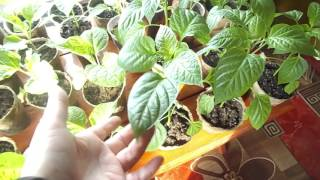 видео Удобрения для рассады томатов и перца в домашних условиях